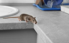 Als muizen je woonplezier vergallen